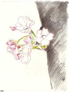 Cerisier (bloom-2)