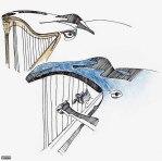 Baleine-harpe (encre)